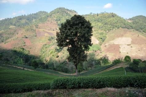 Doi Mae Salong, Thailand: Baum vor Tee-Hang