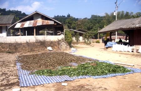 Zum Trocknen ausgebreiteter Tee in Pang Kahm