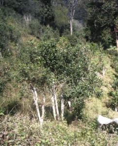 Teebaum in Pang Kham mit Plantage im Hintergrund