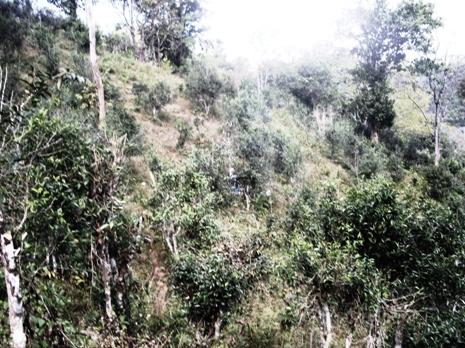 Extensive Teeplantage in Pang Kham