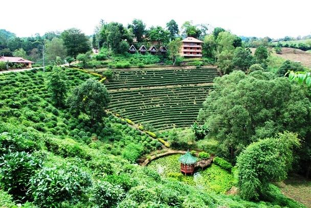 Tee-Plantagen in Doi Wawee, Nordthailand