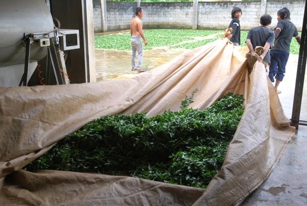 Transport der behandelten Teeblätter aus der Fabrik in Doi Wawee
