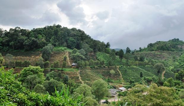 Tee-Plantagen beim Laolee Resort in Doi Wawee, Nordthailand