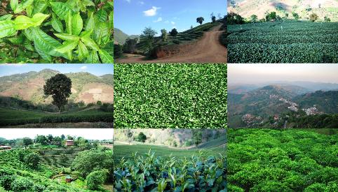 Tee und Tee-Plantagen-Portraits, Teeanbau/Teeverarbeitung in Doi Mae Salong