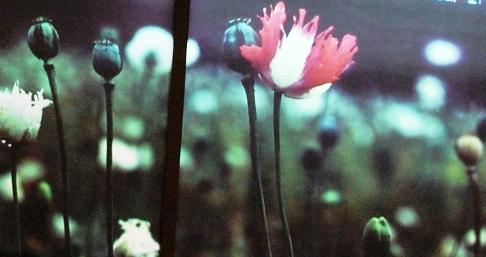 Schlafmohn mit Opium-Poppies im Goldenen Dreieck Thailand / Burma / Laos