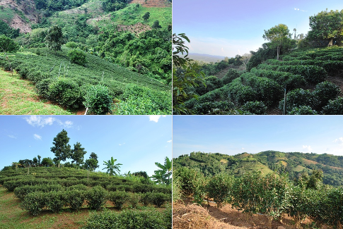 """""""Unser Teegarten"""", Doi Tung, Nordthailand, organisch angebauter Oolong-Tee"""