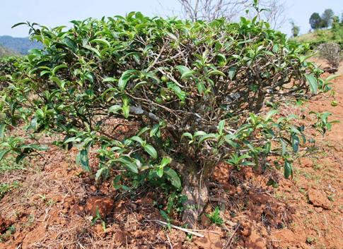 Bai Yai Assamica Tee-Baum, Doi Mae Salong, Thailand