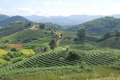 Panorama-Blick auf Teegarten in Ban Therd Tai, Nordthailand