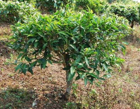 "In Nordthailand heimischer ""Camellia Sinensis Assamica"" Teekultivar in Doi Mae Salong"