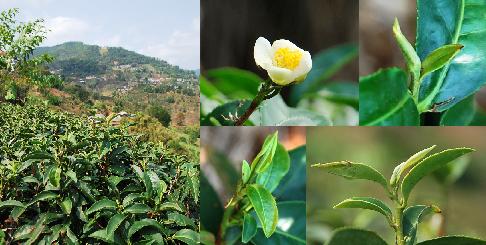 In Nordthailand angebauter Jin Xuan Teekultivar aus TaiwanTaiwa