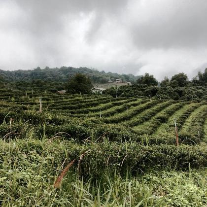 Teeanbau: ein Besuch im Teegarten