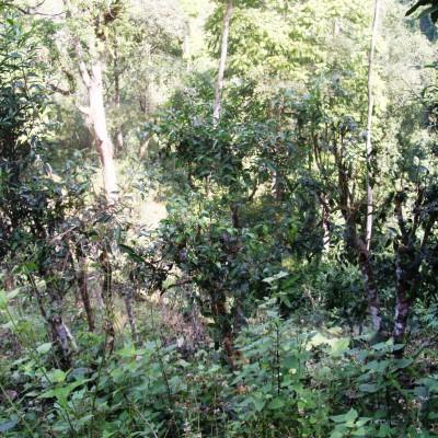 Wilde Teebäume in Mae Hong Son Provinz, Nordthailand
