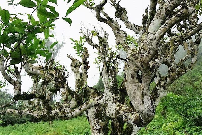 Der Stamm des Snow Shan Teebaums ist mit weißem Moos- und Pilzbewuchs übersät