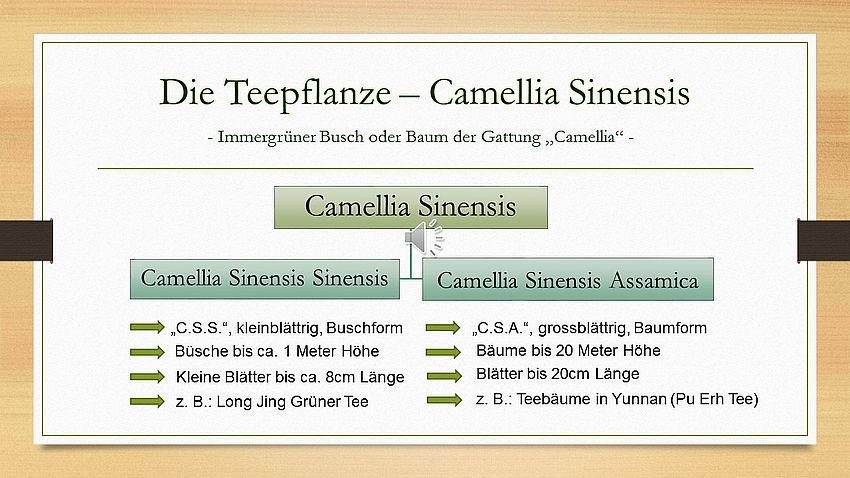 Die Teepflanze - Camellia Sinensis Sinensis und Camellia Sinensis Assamica