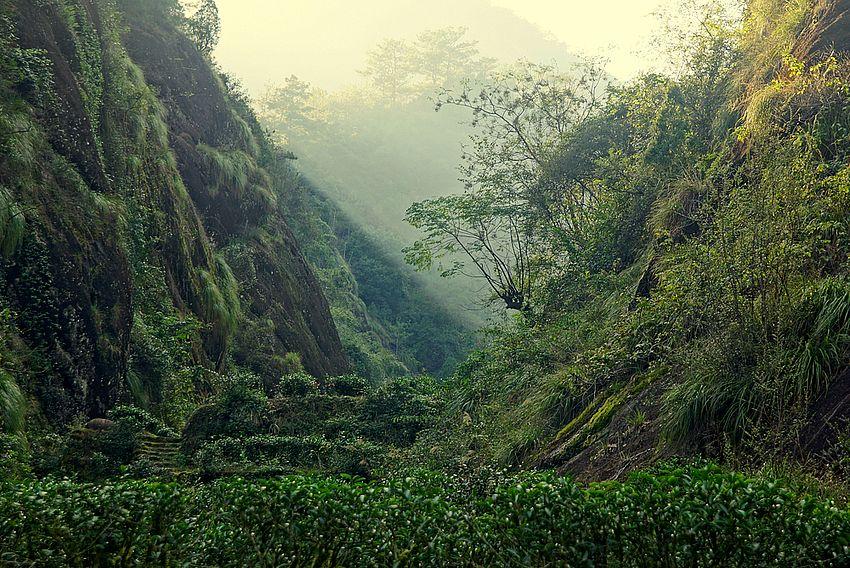 """""""Steintee""""-Büsche im Wuyi-Gebirge - beschnittene und unbeschnittene """"Halbbaum-Teebüsche"""""""