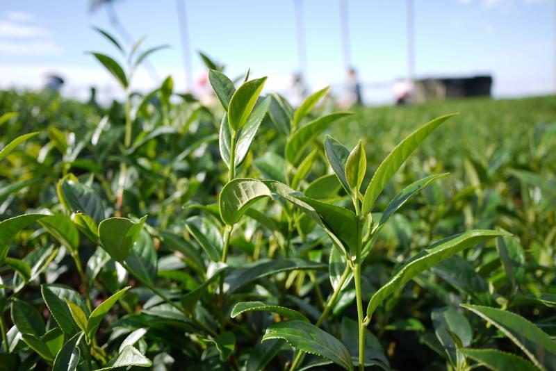 Kleinblättriger Taiwan Teekultivar