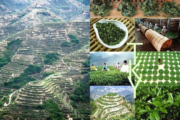 Tie Guan Yin Teekultivar, Anxi, Fujian, China