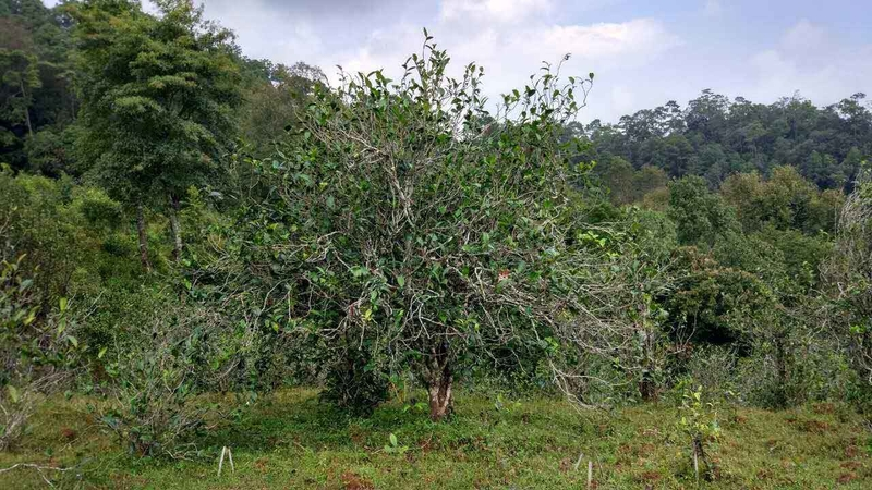 Alter Teebaum in Yunnan - Camellia Taliensis