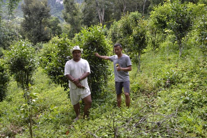 Shan-Teebauern vor ihren Teebäumchen in Pang Kham, Nordthailand